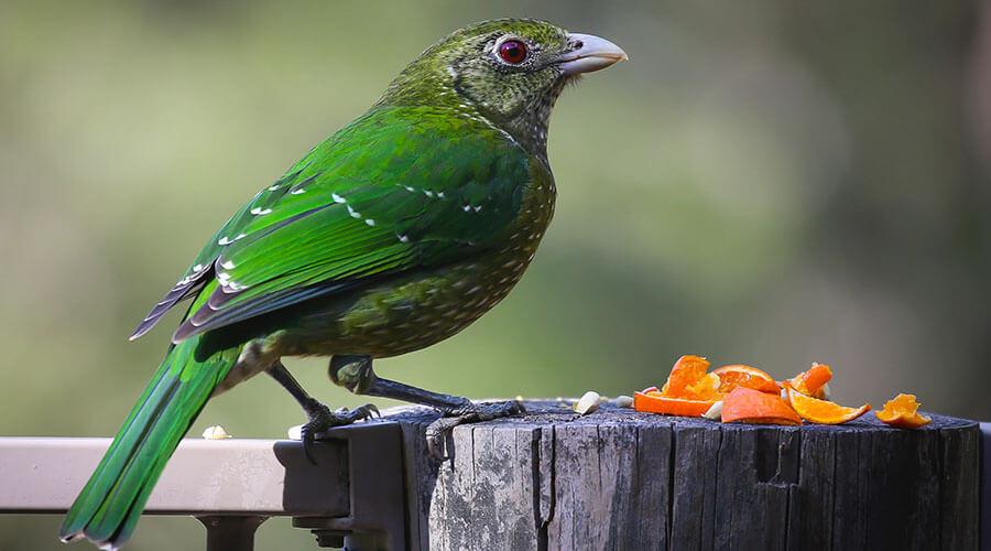 bird eating oranges