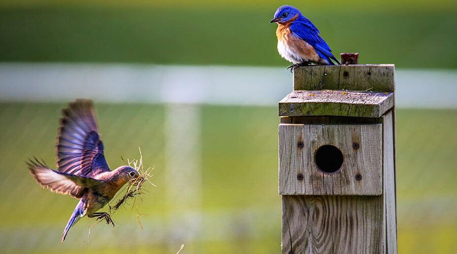 blue birds nesting