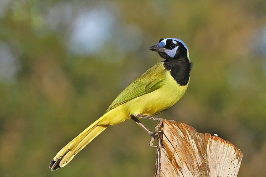 green jay in south texas