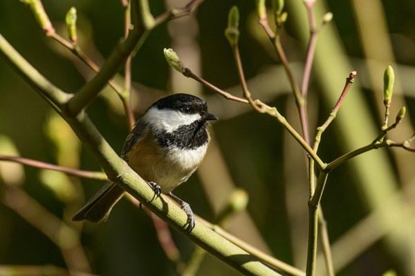 bird in the pacific northwest