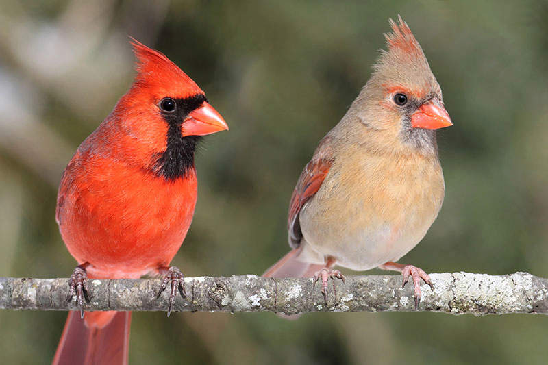 paired up cardinals
