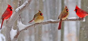 cardinals perched in the winter