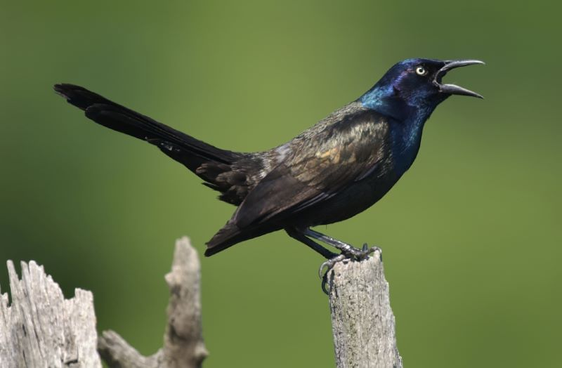 common grackle: back bird with blue head