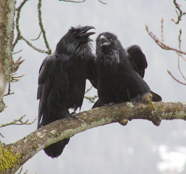 ravens talking