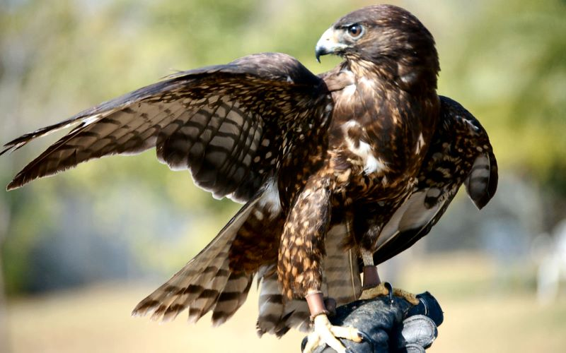 short tailed hawk