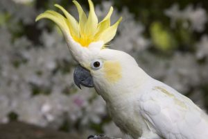 sulpher crested cockatoo
