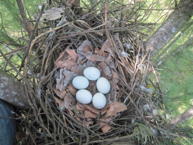 coopers hawk nest