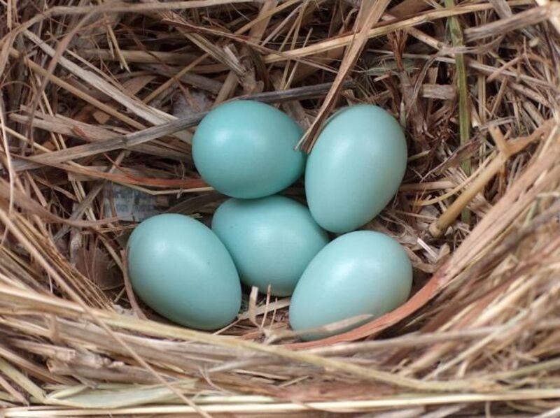 european startling eggs