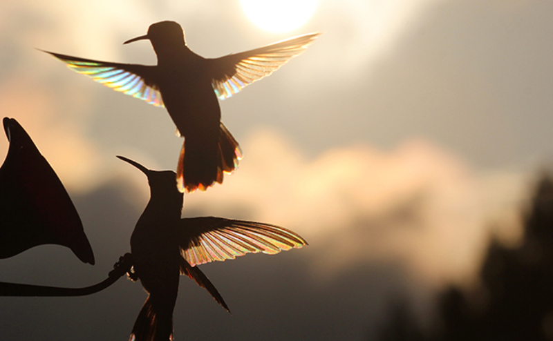 hummingbirds chasing each other