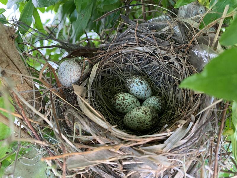 northern cardinal eggs