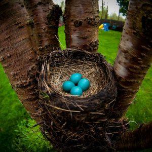 american robin eggs