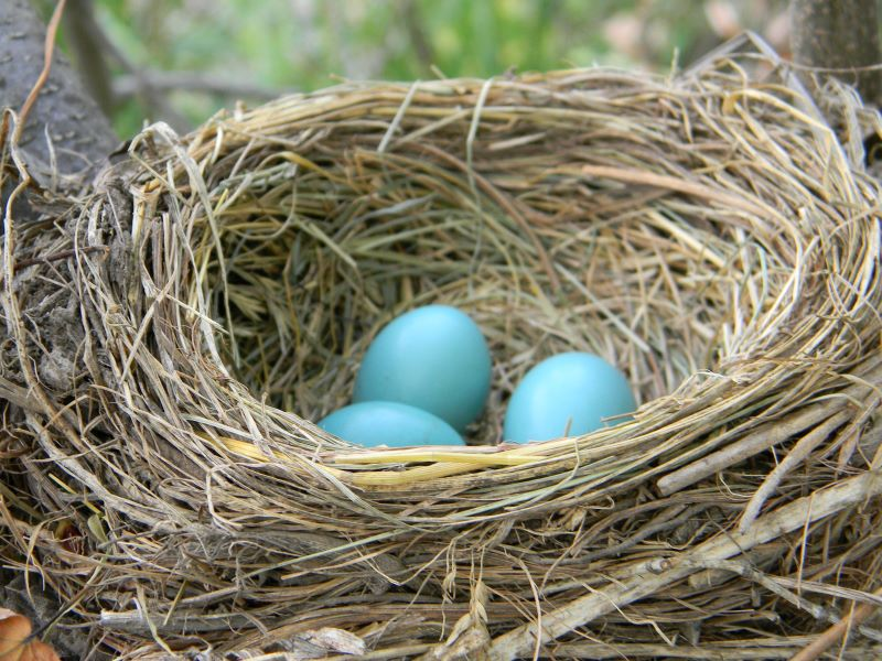 robin's nest with eggs