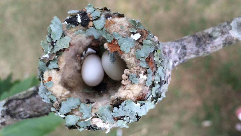 ruby throated hummingbird eggs
