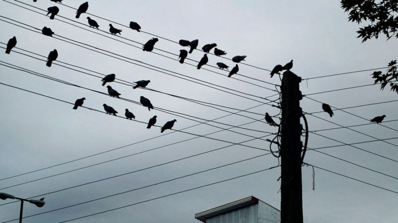 crows perching on telephone line