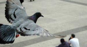 pigeon in paris flying home
