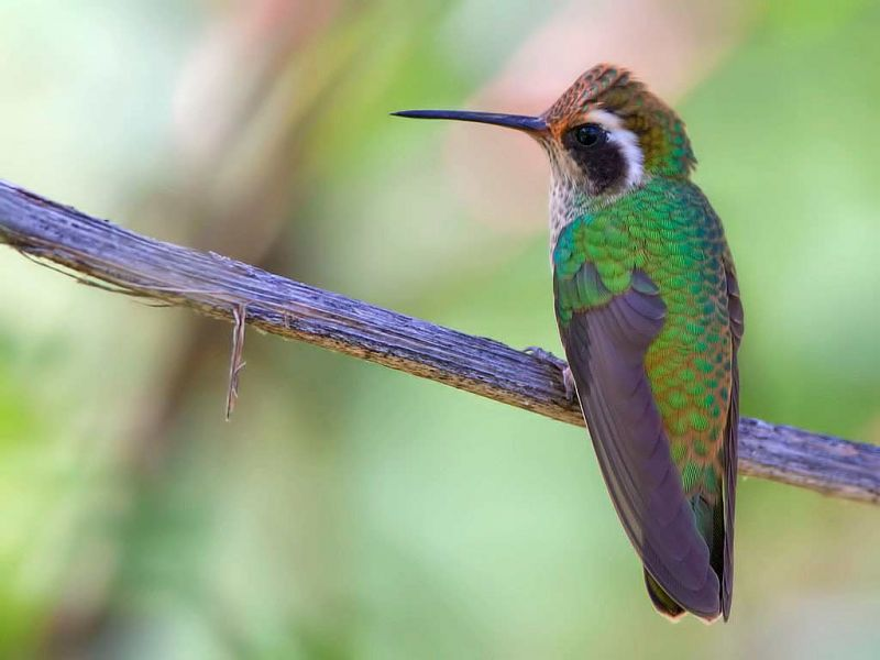 white eared hummingbird