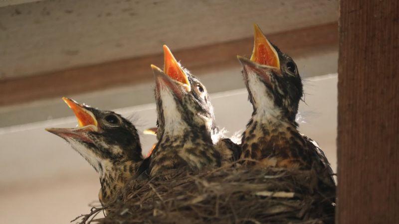 hungry baby robins
