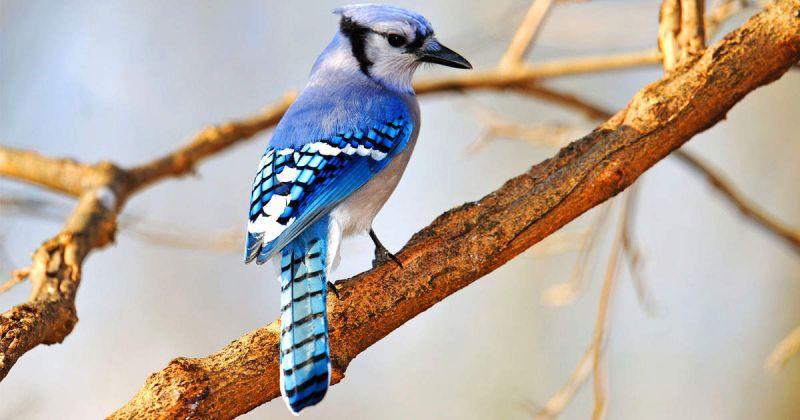 blue jay perching