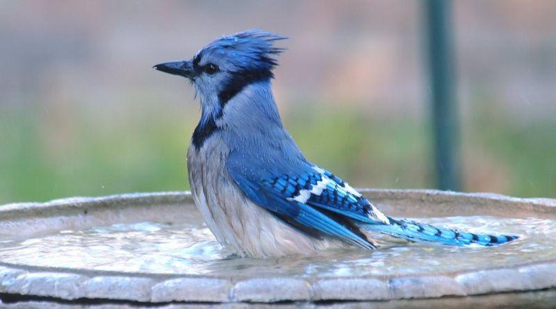 blue jay bird bath