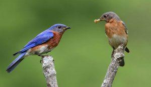 eastern bluebird mates