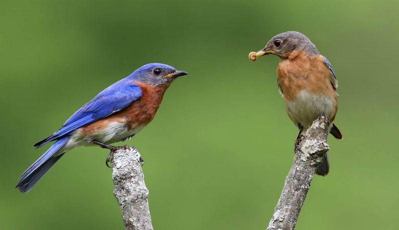 bluebird mates
