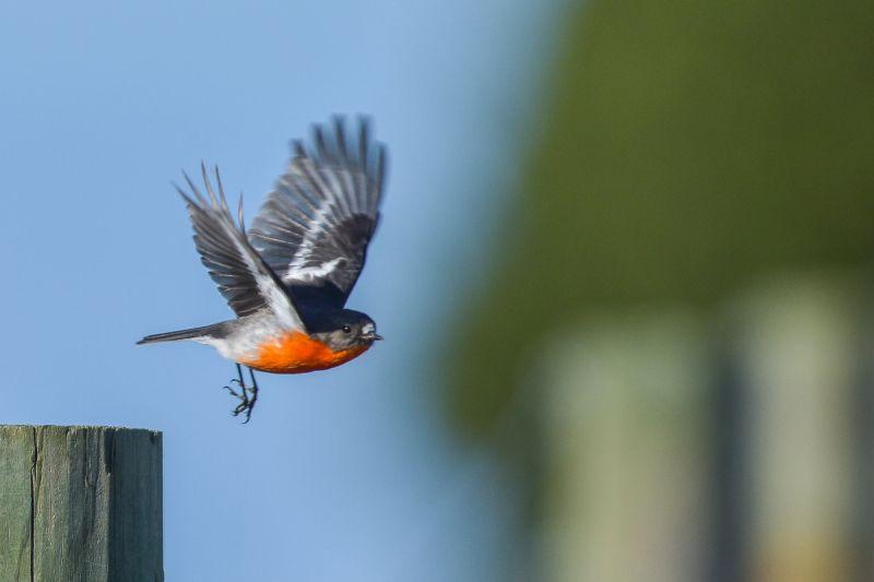 flying flame robin