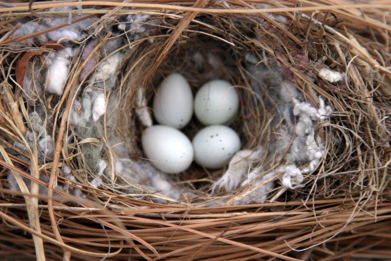 house sparrow eggs