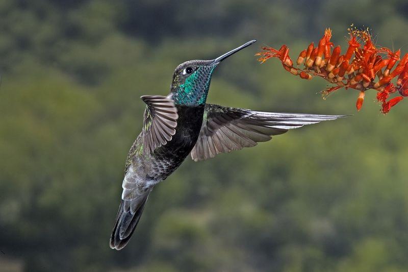 magnificent or refulgent hummingbird