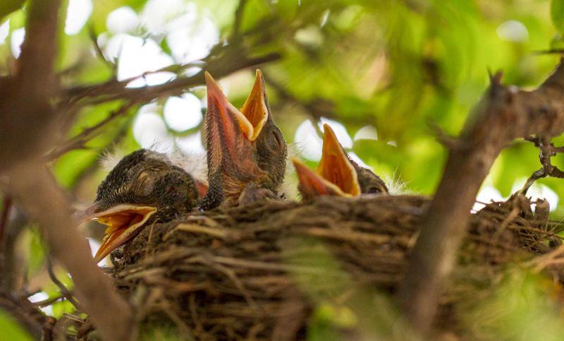 orphaned robins