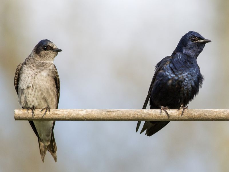purple martin hanging out with other bird