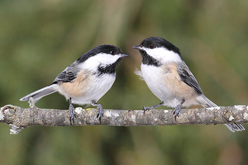 two chickadees hanging out