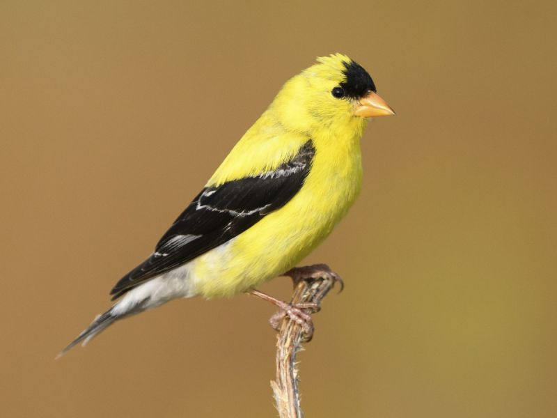 american goldfinch in ohio