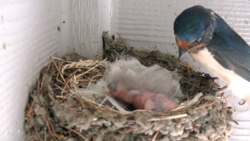 barn swallows nest