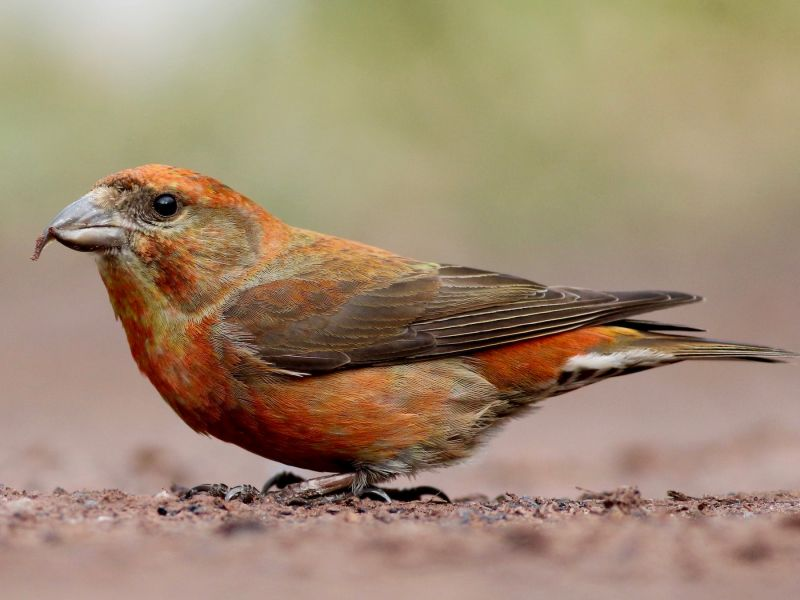 red crossbill in ohio