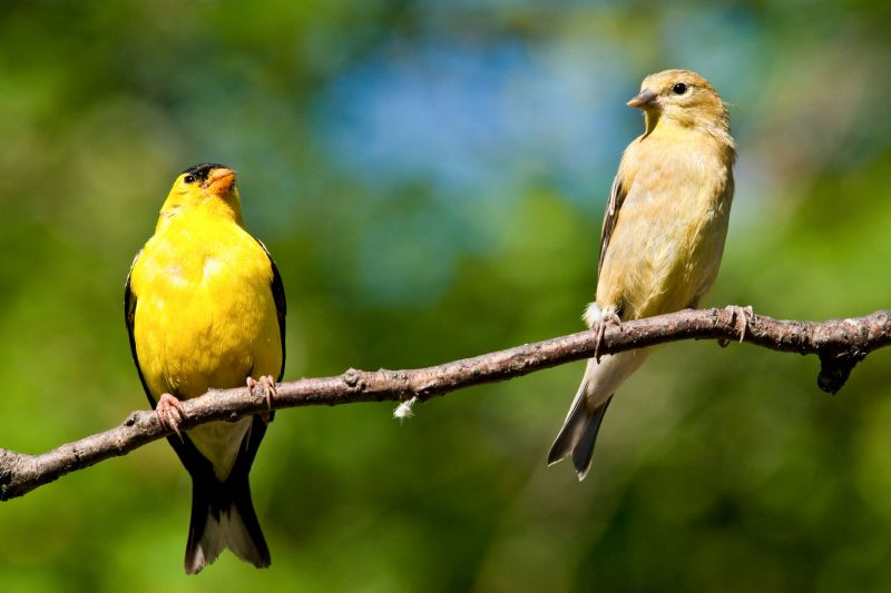 two american goldfinches