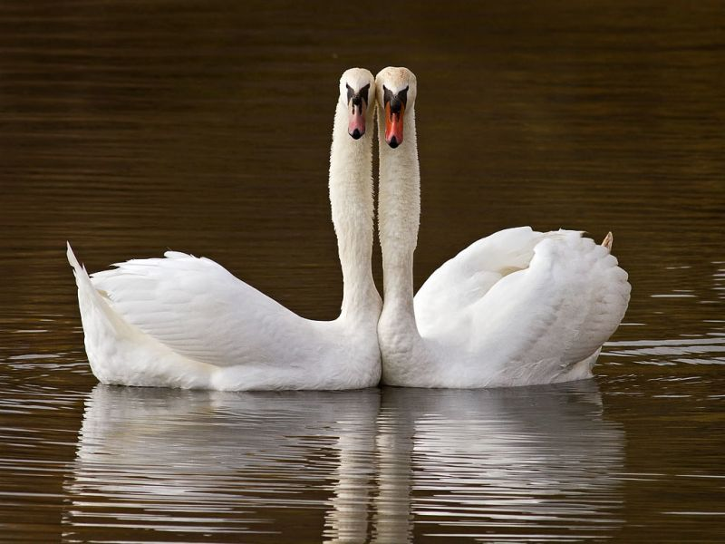 two mute swans that mate for life